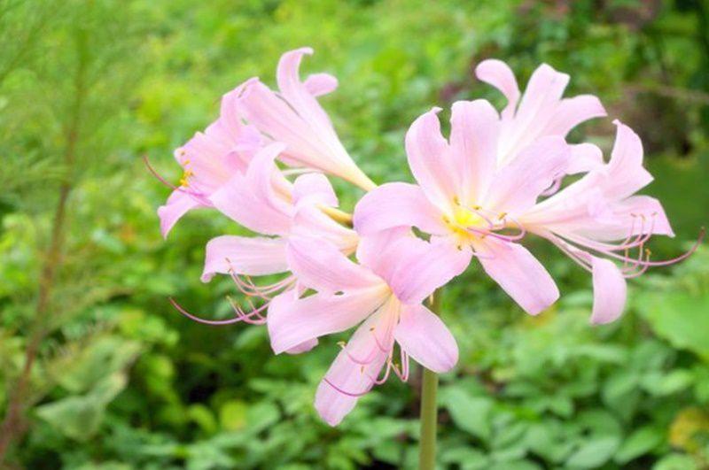 リコリス (鐘馗水仙) 花言葉・誕生花