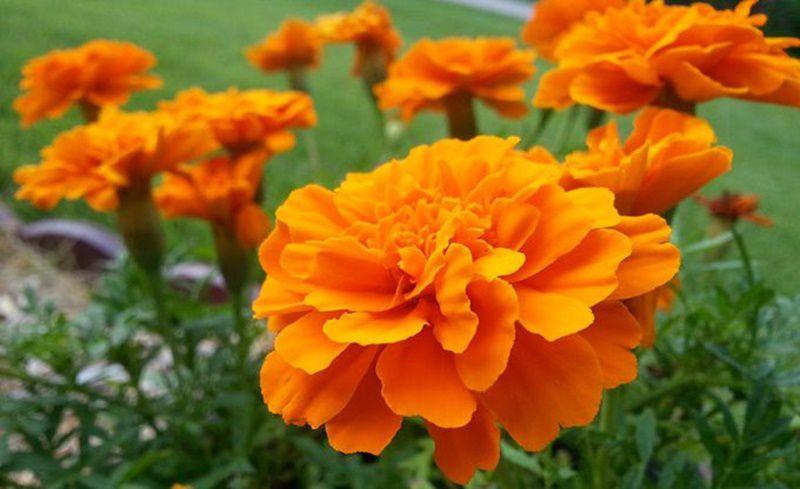 マリーゴールドの花言葉. 【花言葉】可憐な愛情・変わらぬ愛・信頼・友情・勇者・予言・嫉妬・悲しみ